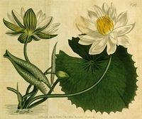 Aegyptian Water-lily