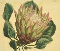 Artichoke-flowered Protea