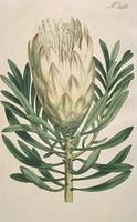 Honey-bearing Protea