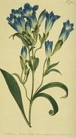 Porcelane-flowered Gentian