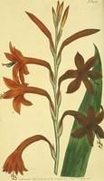 Scarlet Flag- leaved Watsonia