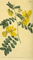 Two-flowered Cassia