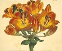 Umbel-flowered Bulb- bearing Orange-lily