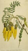 Winged-podded Sophora