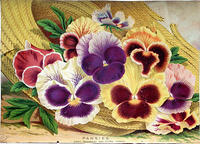 4282197594 468f46529e 1880s Pansies Victorian Trade card L